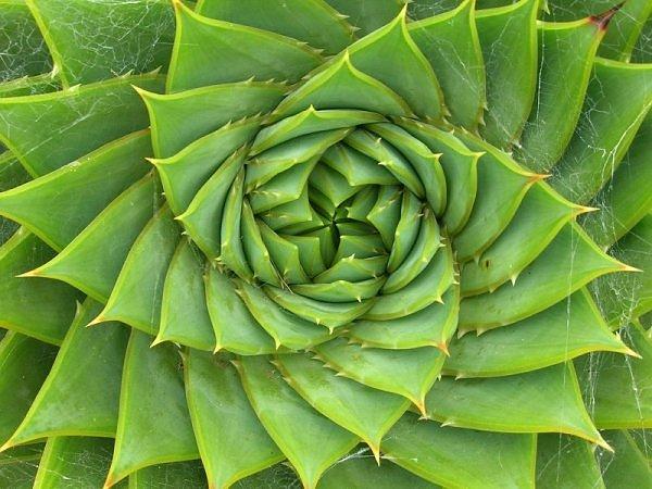 fibonacci plant